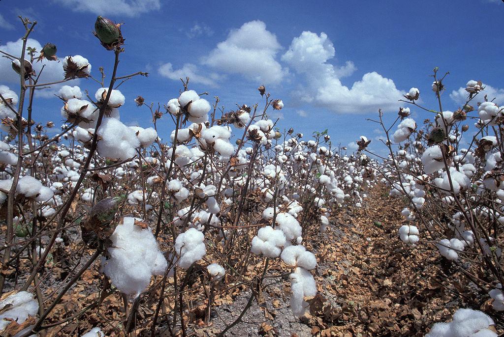 Feld mit reifer Baumwolle.