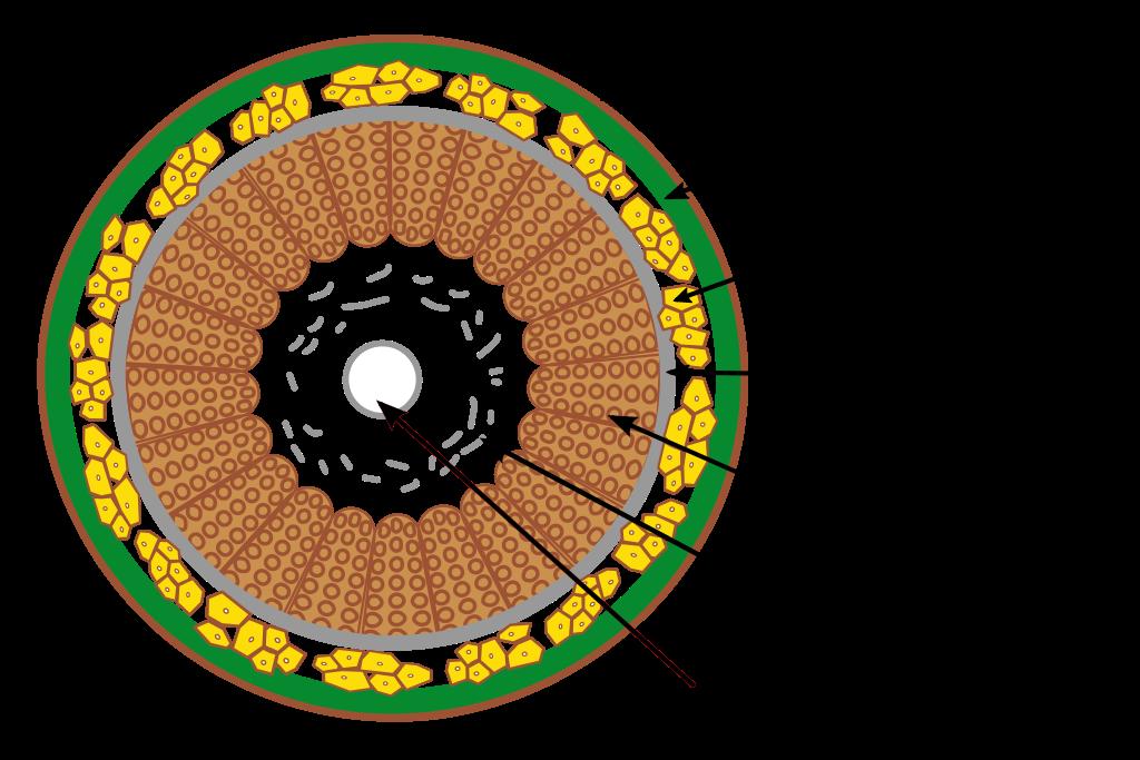 Querschnitt eines Flachsstengels: Nur die Bastfasern werden zu Leinen verarbeitet