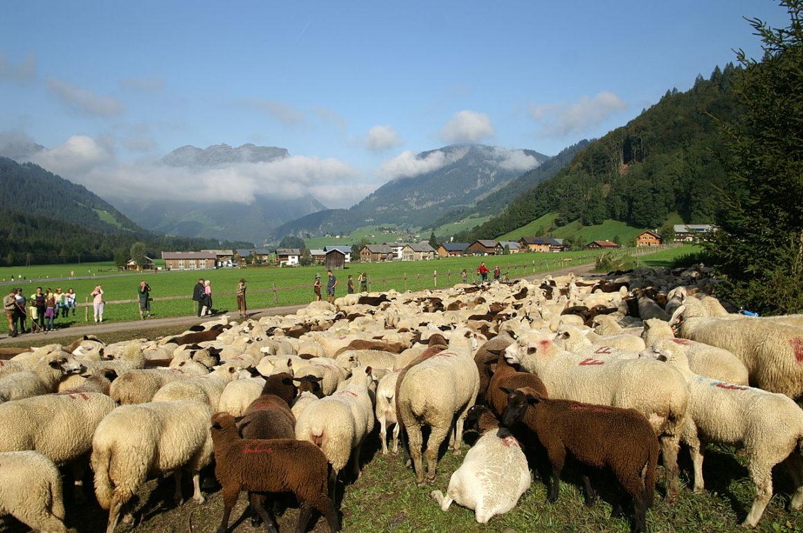 Schafe gibt es fast überall auf der Welt